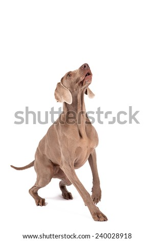 Weimaraner female dog sitting in front of white background, isolated on white