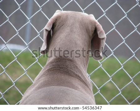Weimaraner looking through fence