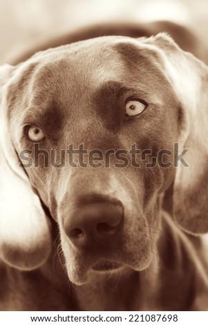 Weimaraner portrait - stock photo