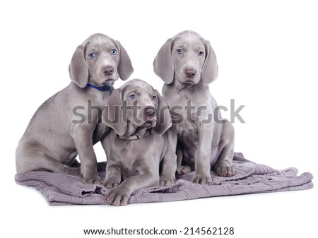 weimaraner puppies - stock photo