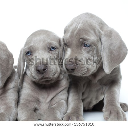 weimaraner puppies close up portrait, weimaraner puppies - stock photo