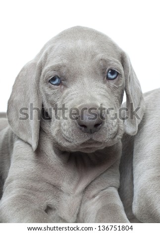 weimaraner puppy close up portrait, weimaraner puppy - stock photo