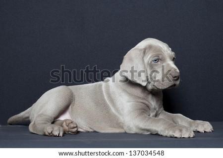 weimaraner puppy lying in front of black background, weimaraner puppy - stock photo