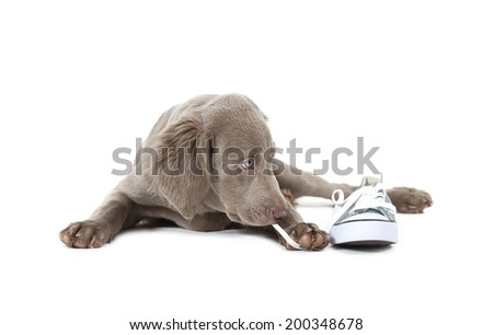 Weimaraner puppy of 3 months old pulling the lace of a shoe over white