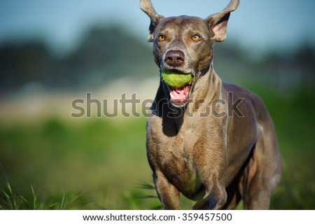 Weimaraner running with ball