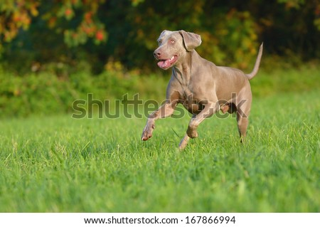 Weimaraner runs happily above the meadow  - stock photo