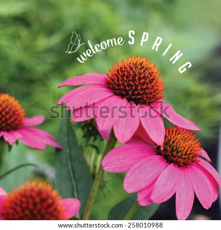 Welcome Spring Echinacea Background royalty free stock photo for greeting card, ad, promotion, poster, flier, blog, article, social media, marketing, florist, garden center, gardening, nursery - stock photo