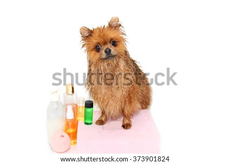 Well groomed dog. A pomeranian dog taking a shower. Dog on white background. Dog in bath. Dog grooming - stock photo