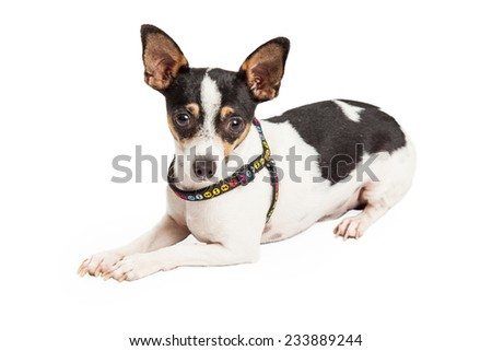 Well trained Chihuahua Dog laying at an angle while looking directly into the camera.  - stock photo