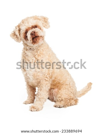 Well trained senior Poodle Mix Breed Dog sitting.  - stock photo
