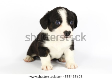 Welsh Corgi Cardigan puppy 4 weeks old on white background.