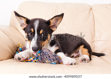Welsh Corgi Cardigan with toy on the couch