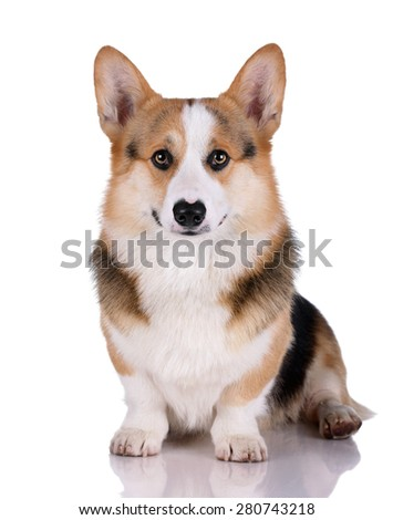 Welsh corgi dog on a white background