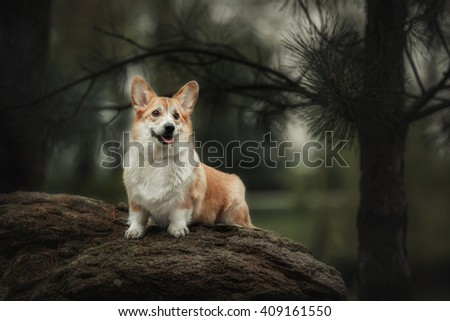 Welsh corgi dog running outdoor - stock photo