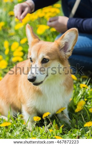 Welsh Corgi dog sitting in the grass and dandelions on the background