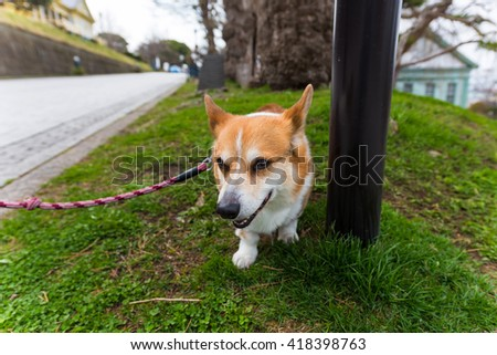 Welsh Corgi Pembroke dog relax on grass field at old Hakodate Public hall around Motomachi district, Japan