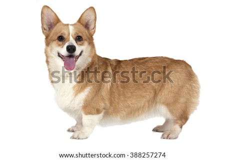 Welsh corgi Pembroke dog standing in a studio and looking forward