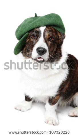 Welsh  corgi pembroke in studio in front of a white background