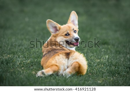 Welsh Corgi Pembroke lies on the grass in summer time