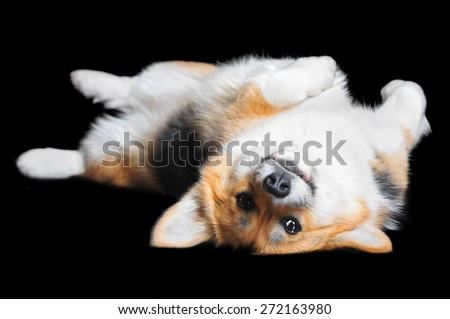 Welsh Corgi Pembroke lying on the back, isolated - stock photo