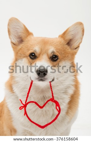 Welsh corgi pembroke posing with a red heart shape in its mouth - stock photo