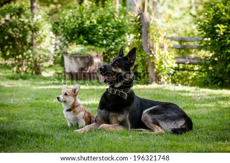 Welsh corgi pembroke puppy and Eastern European shepard laying on the grass looking up   - stock photo