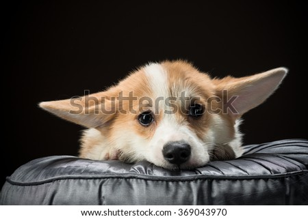 Welsh corgi pembroke puppy laying on a cushion with its ears hanging low against black background - stock photo