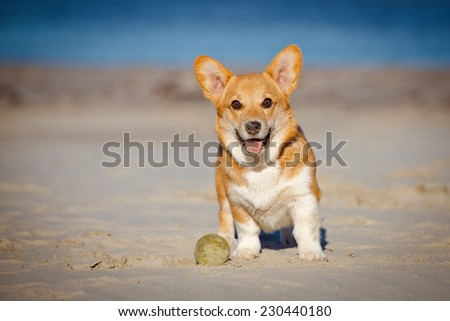 welsh corgi pembroke puppy portrait - stock photo