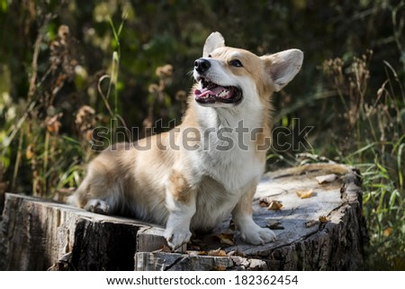 Welsh corgi pembroke sitting on a trunk looking up smiling - stock photo