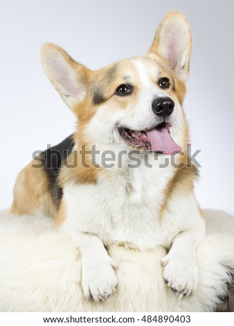Welsh Corgi portrait. Image taken in a studio.