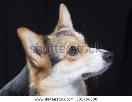 Welsh corgi portrait with a black background. A closeup shot of the head. Image taken in a studio. - stock photo