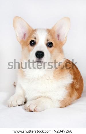 Welsh Corgi three-month puppy lying on a white background - stock photo