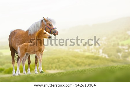 Welsh ponies mare and foal on nature - stock photo