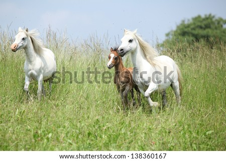Welsh ponnies, mare with foal and another pony, running