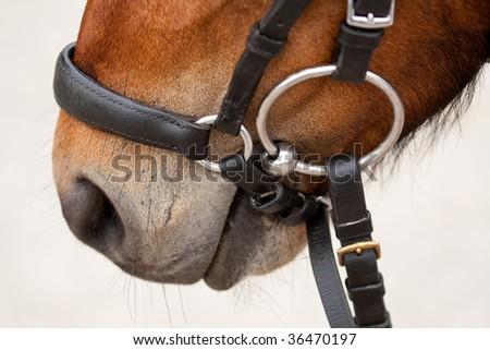 Welsh Pony - close up - stock photo