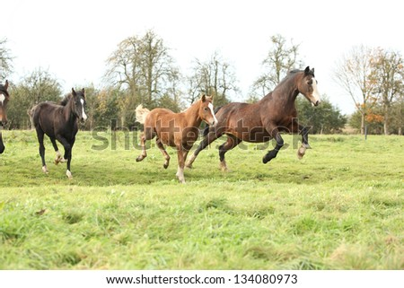 Welsh pony mares with foals running and jumping on green pasturage