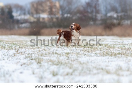 Welsh Springer Spaniel - stock photo