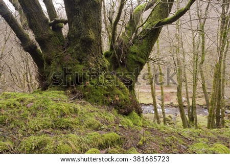 Welsh Valley. Looking down at a swollen creek from a tree covered in moss and lichen. The ground is heavy with water and the trees are bare for winter. There is a pagan feel about the countryside.