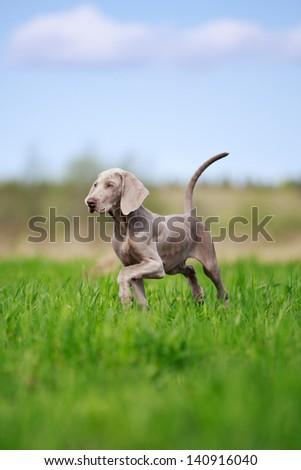 wemaraner puppy in field - stock photo