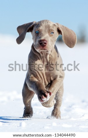 wemaraner puppy run in snow field - stock photo