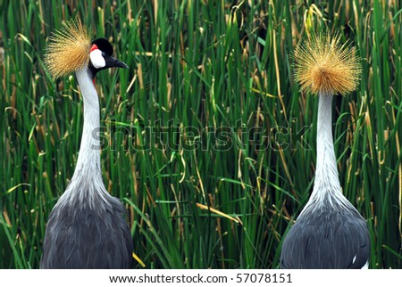 west african crowned crane  side profile - stock photo