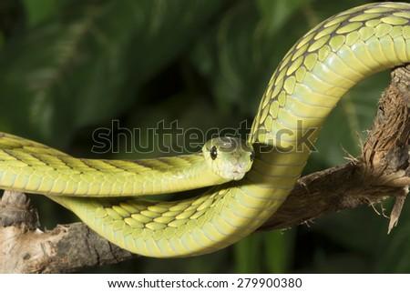 West African Green Mamba - stock photo