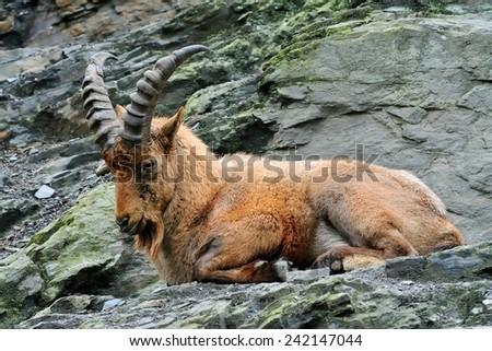 West Caucasian goat (Capra Caucasica) - stock photo