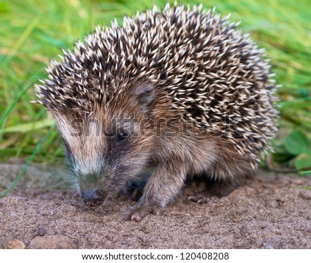 West European Hedgehog (Erinaceus, europaeus) Looking for Food