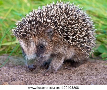 West European Hedgehog (Erinaceus, europaeus) Looking for Food - stock photo