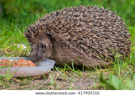 West european hedgehog (Erinaceus europaeus) on a green meadow