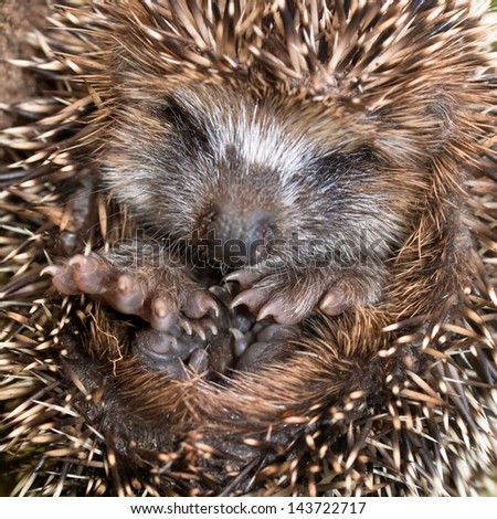 West European Hedgehog (Erinaceus, europaeus) Preparing for Hibernation