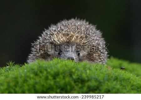 West European Hedgehog in green moss with dark background during autumn