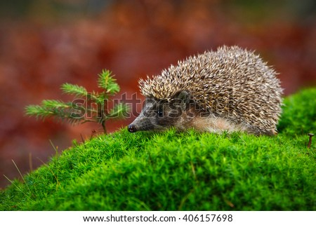 West European Hedgehog in green moss with little spruce tree, orange background during autumn, Germany - stock photo