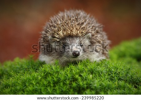 West European Hedgehog in green moss with orange background during autumn - stock photo